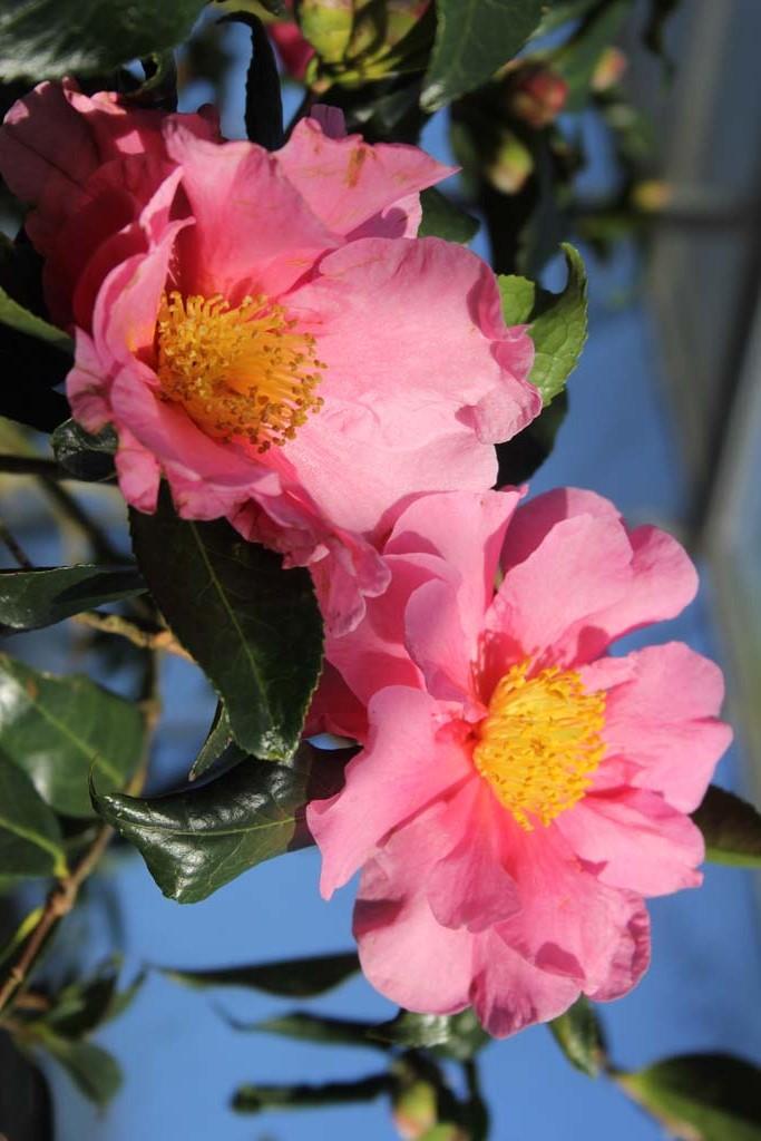 Plantation Pink
