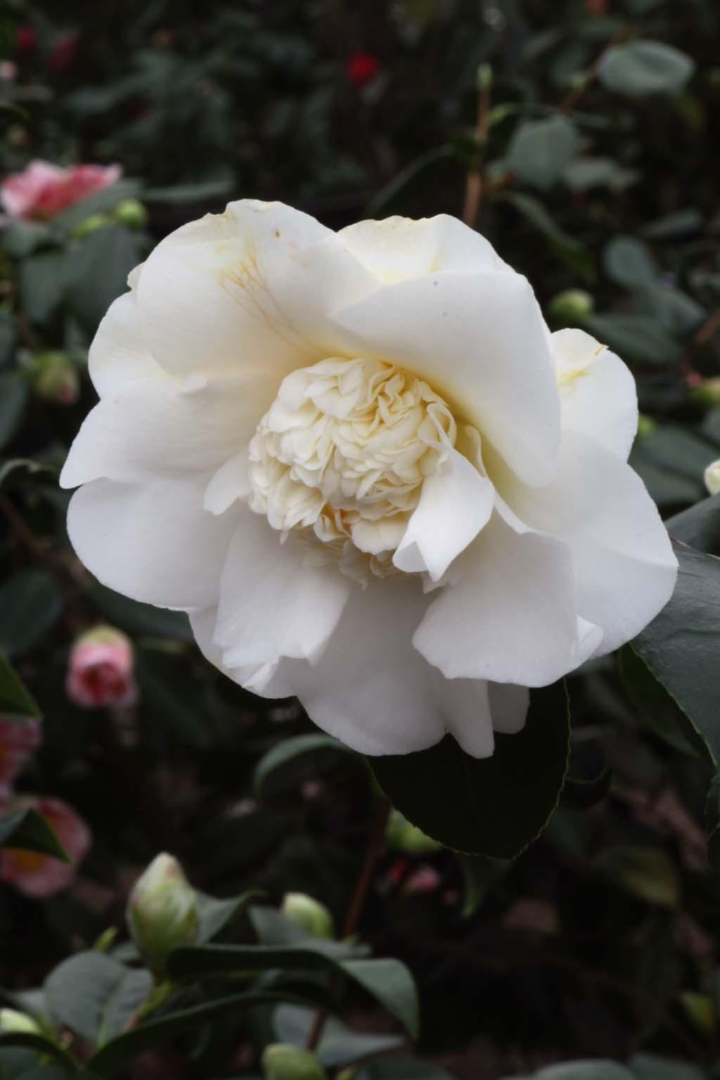 Elegans Weiß
